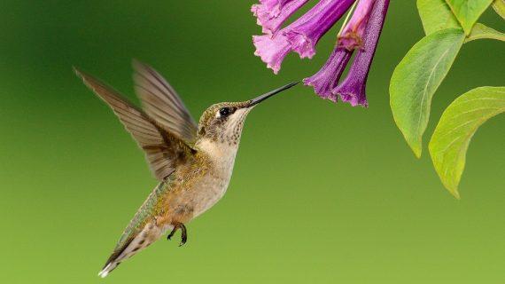 UNAM crea jardines para colibríes en la Ciudad de México