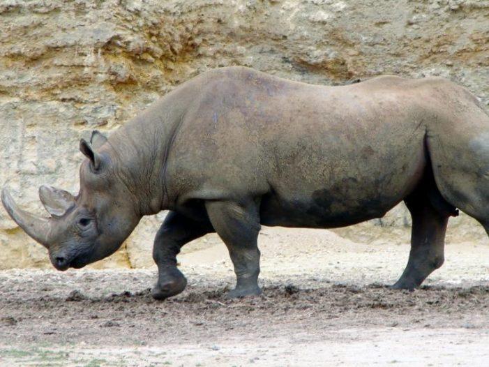 Se extingue el rinoceronte negro de África