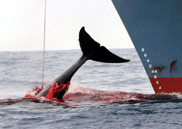 Japón reanudará caza comercial de ballenas, decenas de países condenan la decisión