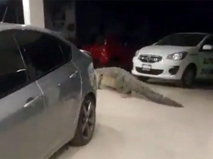 Cocodrilo se pasea por agencia de autos en Puerto Vallarta