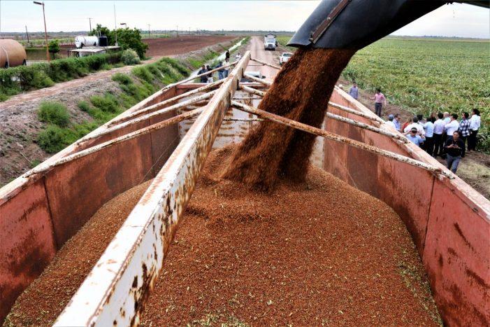Sinaloa exportará sorgo a China para consumo humano
