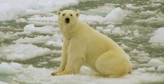 """Emergencia en Rusia por """"invasión"""" de osos polares, si no se controla, podrían ser sacrificados"""