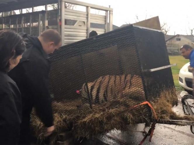 Entró a casa abandonada a fumar marihuana y encontró un tigre enjaulado