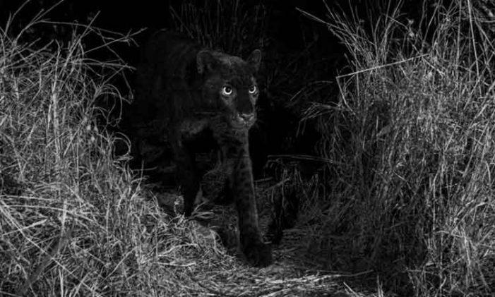 Por primera vez después de 100 años logran fotografíar a un leopardo negro en África