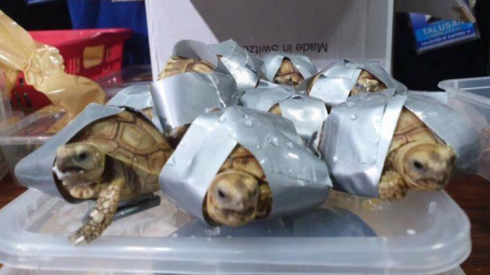 Más de 1500 tortugas fueron encontradas dentro de maletas en aeropuerto de Filipinas