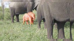 En Sudádrica nace un elefante rosa