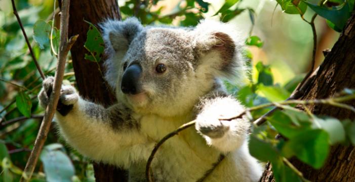 """Declaran al Koala especie """"funcionalmente"""" extinta"""