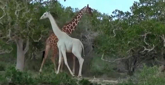 Cazadores en Kenia matan a jirafa blanca y su cría, únicas en su especie